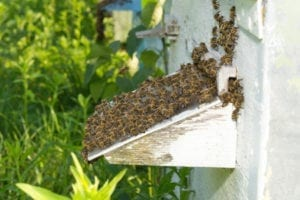 Bees, Specialty Pest Services BJs Consumers Choice Pest Control